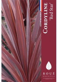 Cordyline 'Red Star'