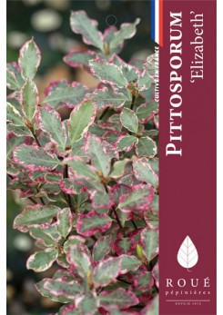 Pittosporum 'Elizabeth'