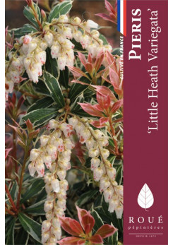 Pieris 'Little Heath Variegata'