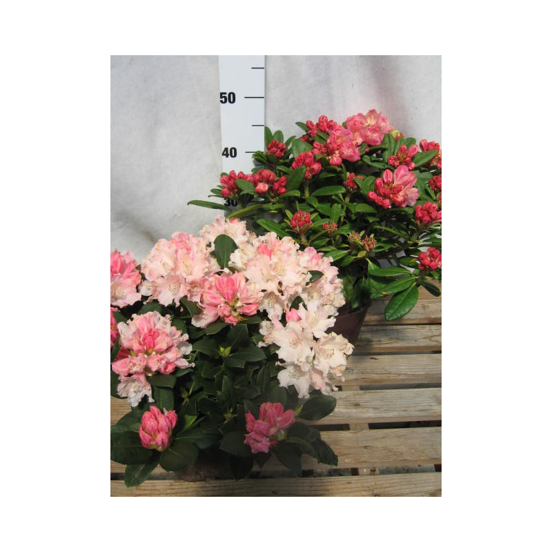 Rhododendron 39 dreamland 39 nos rhododendrons roue p pini res - Comment planter un rhododendron ...