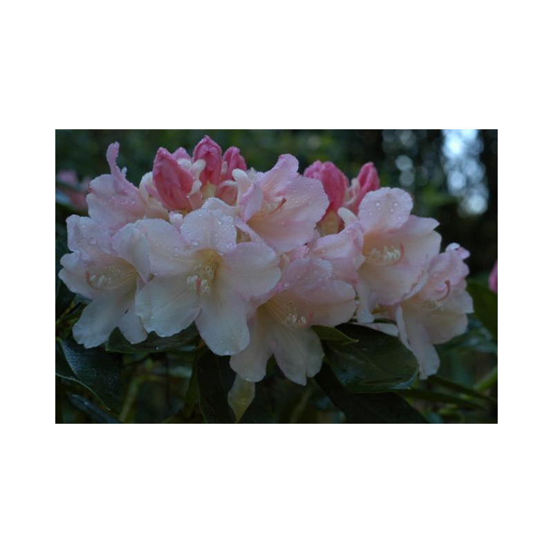 Rhododendron 39 golden torch 39 nos rhododendrons roue - Comment planter un rhododendron ...