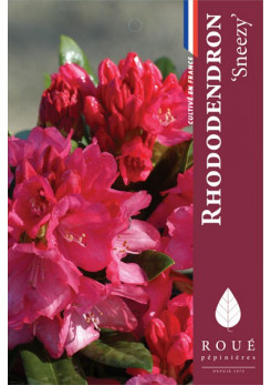 Rhododendron 'Sneezy'