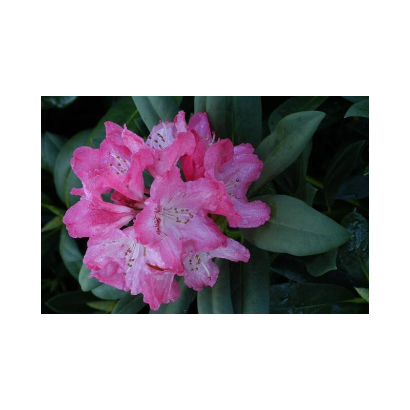 Rhododendron 39 sneezy 39 nos rhododendrons roue p pini res for Quand planter un rhododendron