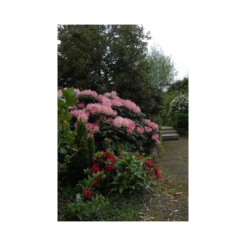 Rhododendron 39 percy wiseman 39 nos rhododendrons roue for Quand planter un rhododendron