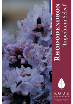 Rhododendron 'Impeditum select'
