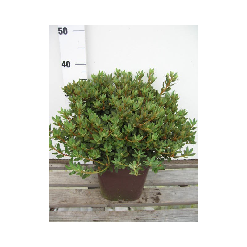 Rhododendron 39 impeditum select 39 nos rhododendrons roue for Quand planter un rhododendron