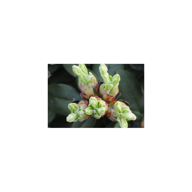 Rhododendron 39 shamrock 39 nos rhododendrons roue p pini res - Comment planter un rhododendron ...