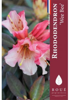 Rhododendron 'Wee Bee'