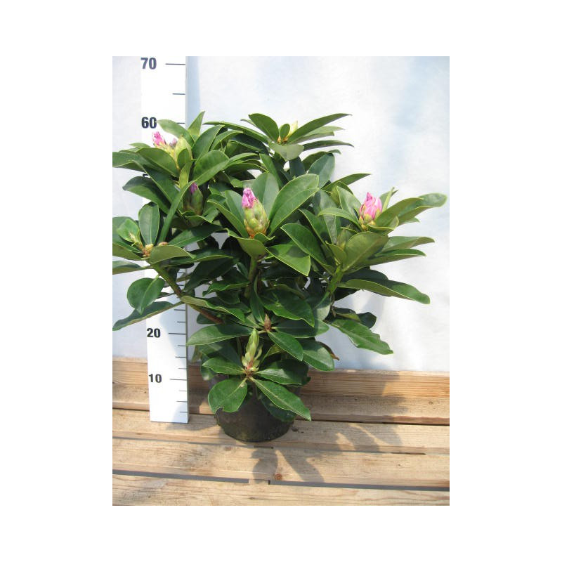 Rhododendron 39 gomer waterer 39 nos rhododendrons roue for Quand planter un rhododendron