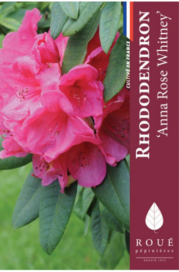 Rhododendron 39 anne rose witney 39 nos rhododendrons roue for Quand planter un rhododendron
