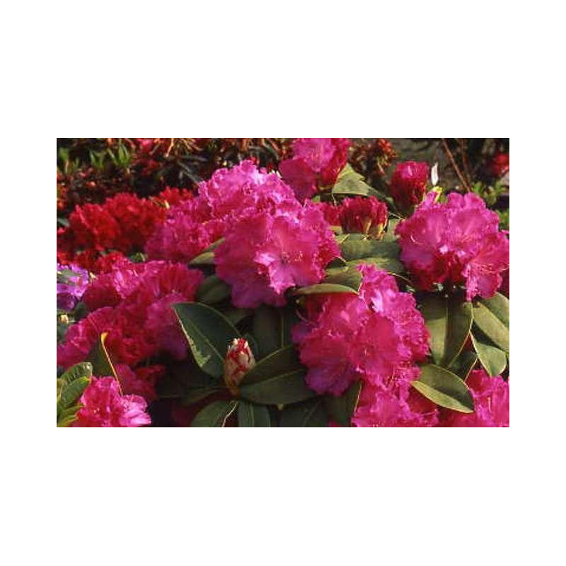 Rhododendron 39 germania 39 nos rhododendrons roue p pini res for Quand planter un rhododendron