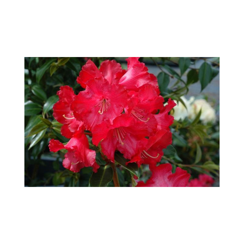 Rhododendron 39 halfdan lem 39 nos rhododendrons roue for Quand planter un rhododendron