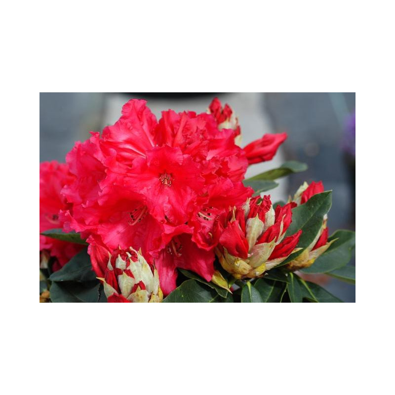 Rhododendron 39 markeeta 39 s prize 39 nos rhododendrons roue for Quand planter un rhododendron