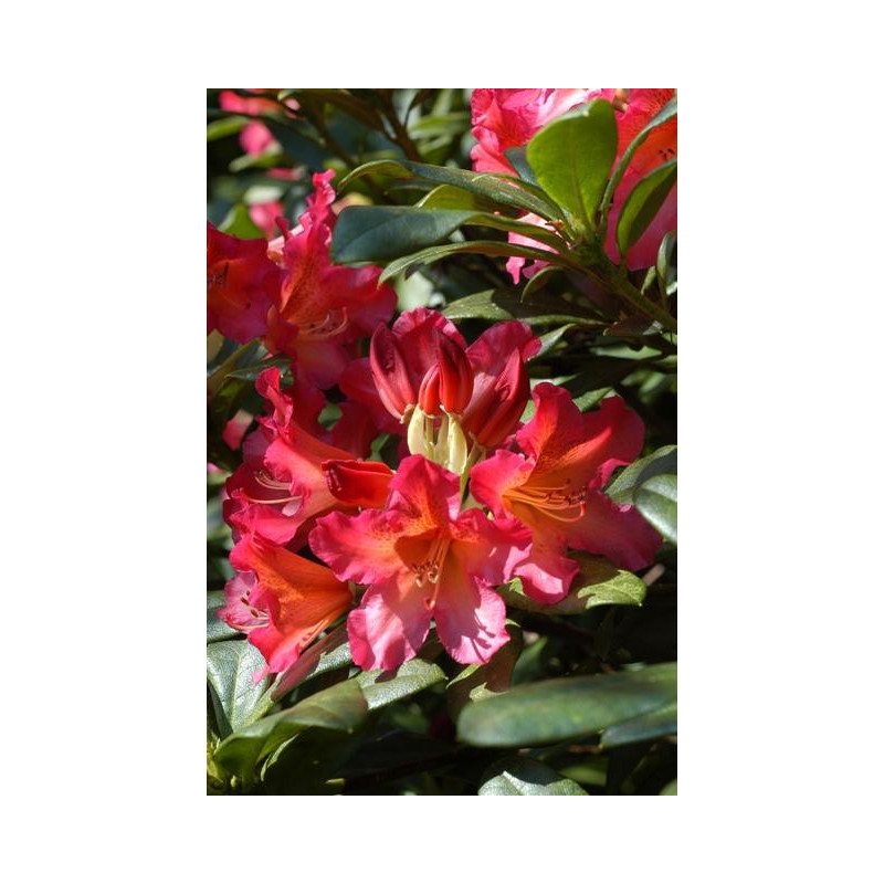 Rhododendron 39 scyphocalix 39 nos rhododendrons roue for Quand planter un rhododendron