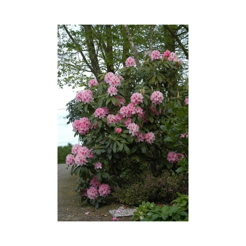 Rhododendron 39 albert schweitzer 39 nos rhododendrons roue p pini res - Comment planter un rhododendron ...