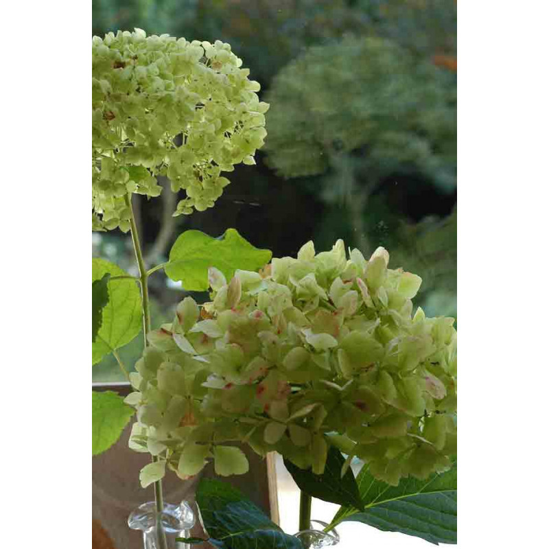 hortensia arborescens 39 annabelle 39 nos hortensias roue. Black Bedroom Furniture Sets. Home Design Ideas