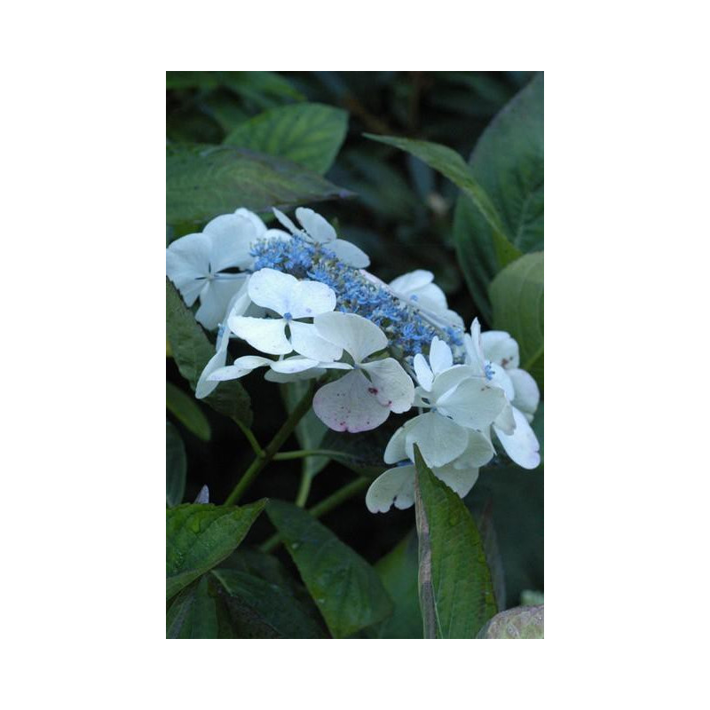 hortensia macrophylla 39 lanarth white 39 nos hortensias. Black Bedroom Furniture Sets. Home Design Ideas