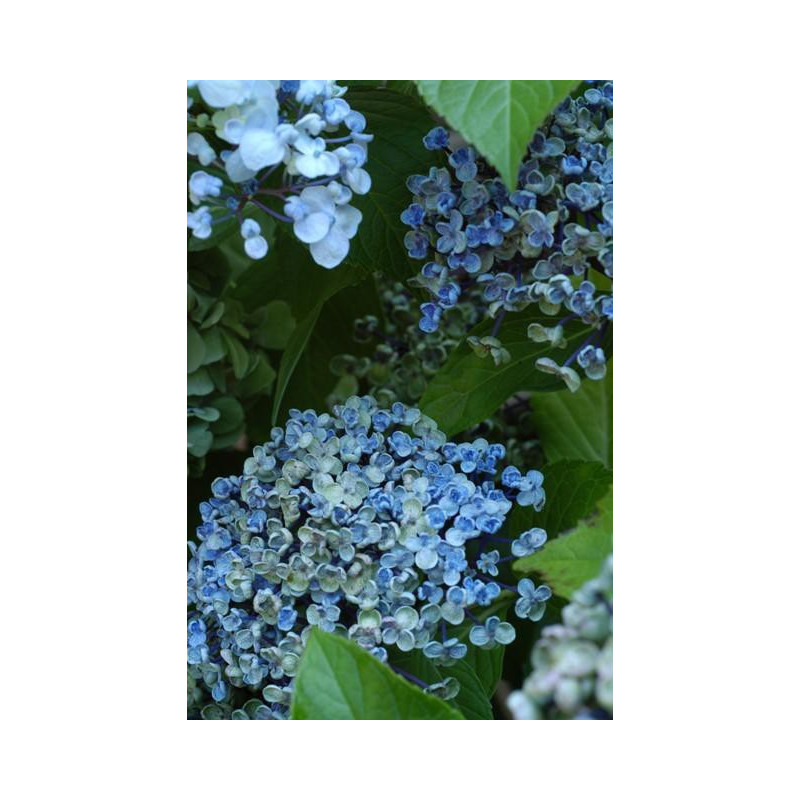 hortensia macrophylla 39 ayesha 39 nos hortensias roue. Black Bedroom Furniture Sets. Home Design Ideas