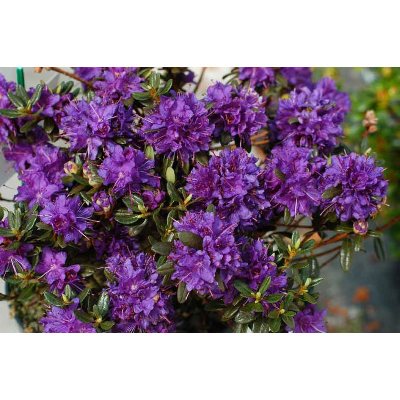 Rhododendron 39 azurro 39 nos rhododendrons roue p pini res - Comment planter un rhododendron ...