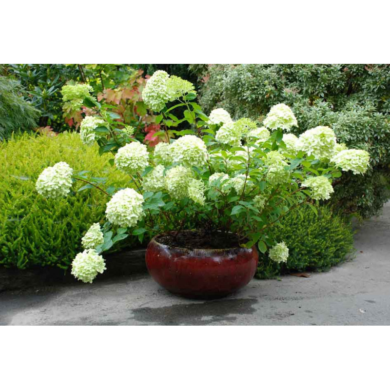 hortensia paniculata 39 limelight 39 nos hortensias roue. Black Bedroom Furniture Sets. Home Design Ideas