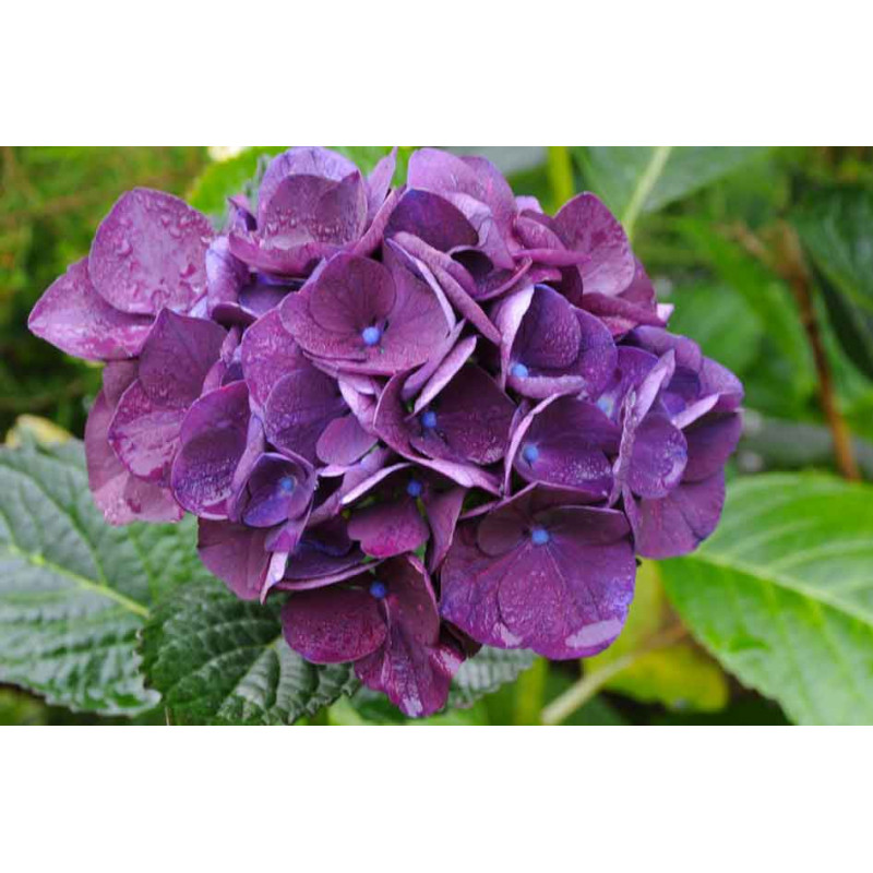 hortensia macrophylla 39 merveille sanguine 39 nos. Black Bedroom Furniture Sets. Home Design Ideas