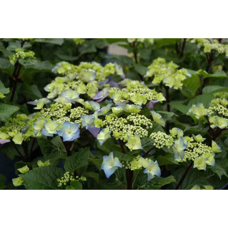 hortensia macrophylla 39 zorro 39 toutes nos plantes roue. Black Bedroom Furniture Sets. Home Design Ideas