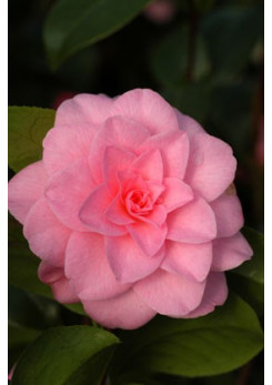 Camelia 'Betty Ridley '