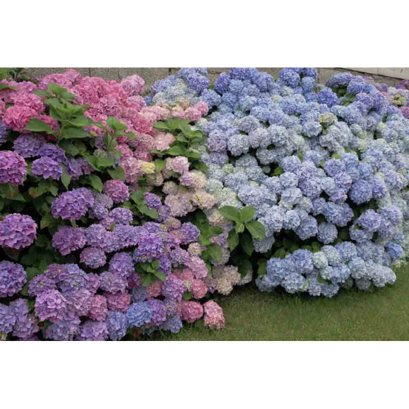 hortensia macrophylla 39 renate 39 default category roue. Black Bedroom Furniture Sets. Home Design Ideas