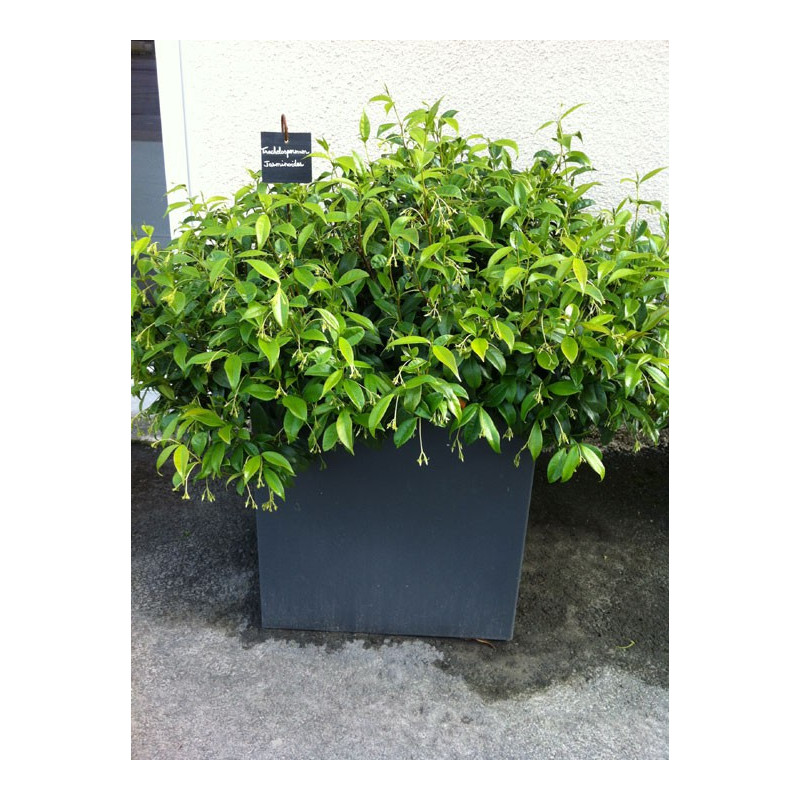 trachelospermum jasminoides jasmin toil faux jasmin pot de 3 litres nos arbustes roue. Black Bedroom Furniture Sets. Home Design Ideas