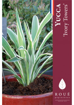 Yucca 'Ivory Towers'