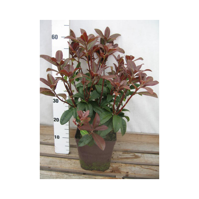 Rhododendron 39 moser 39 s maroon 39 nos rhododendrons roue for Quand planter un rhododendron