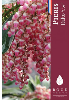 Pieris 'Ralto'