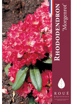 Rhododendron 'Morgen Rot'