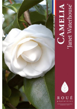 Camelia 'Janet Waterhouse '