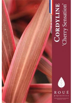 Cordyline australis 'Cherry Sensation'