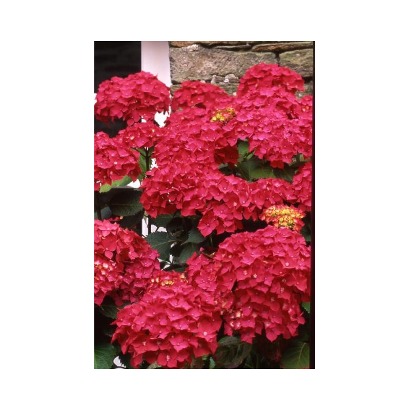 hortensia macrophylla 39 leuchtfeuer 39 nos hortensias. Black Bedroom Furniture Sets. Home Design Ideas