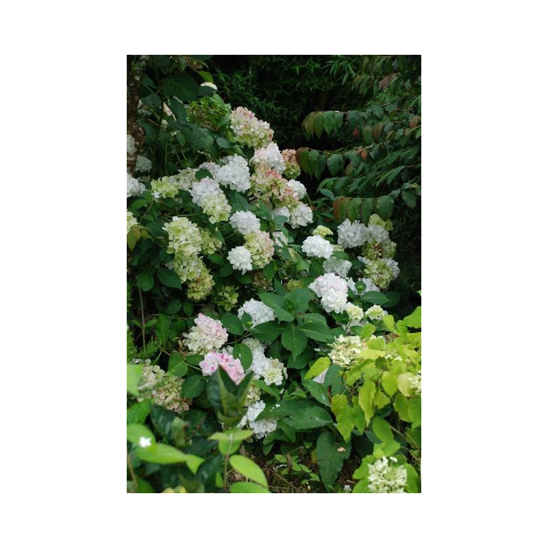 hortensia macrophylla 39 mme mouill re 39 nos hortensias. Black Bedroom Furniture Sets. Home Design Ideas