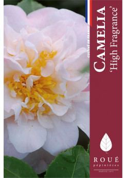 Camelia 'High Fragrance'