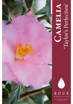 Camelia 'Taylor's Perfection'