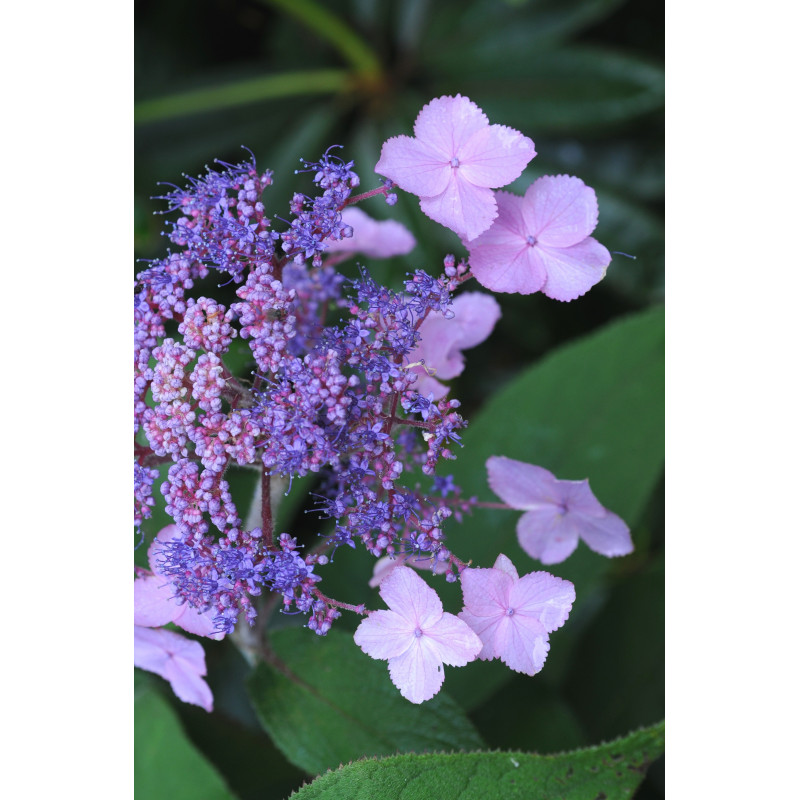 hortensia 39 hot chocolate 39 pot de 5 litres nos hortensias. Black Bedroom Furniture Sets. Home Design Ideas