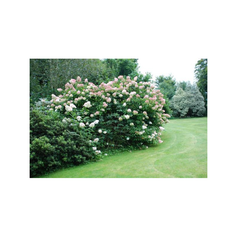 hortensia paniculata 39 phantom 39 nos hortensias roue. Black Bedroom Furniture Sets. Home Design Ideas