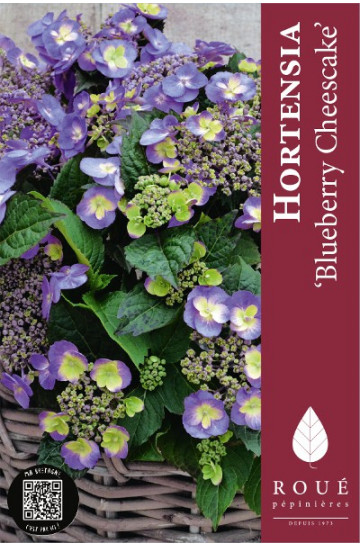 hortensia x 39 blueberry cheesecake 39 nos hortensias roue. Black Bedroom Furniture Sets. Home Design Ideas