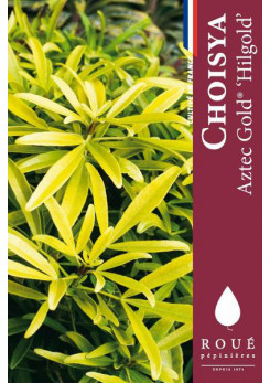 Choisya 'Aztec Gold®'