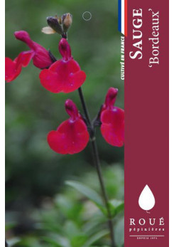 Sauge - Salvia 'Bordeaux'