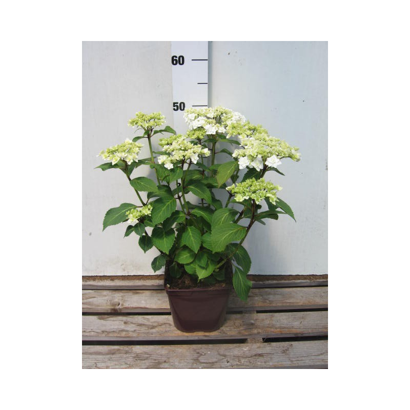 hortensia macrophylla 39 wedding gown 39 nos hortensias. Black Bedroom Furniture Sets. Home Design Ideas