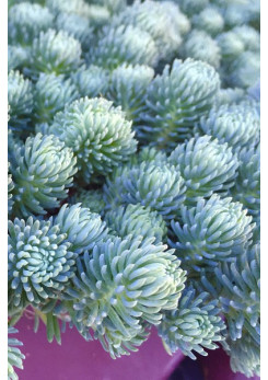 Sedum 'Green Ball'