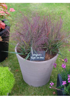 Eragrostis Purple Lovegrass en potée
