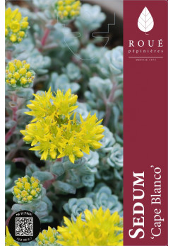 Sedum 'Cape Blanco'