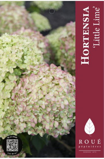 hortensia paniculata 39 little lime 39 nos hortensias roue. Black Bedroom Furniture Sets. Home Design Ideas