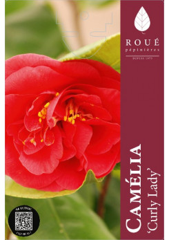 Camelia 'Curly Lady'
